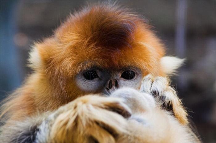 Bas en z'n Beestjes: Snub-nosed monkey